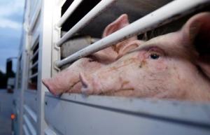 Un incendio causa una strage di maiali a Magliano Alpi