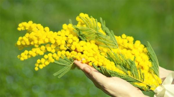 Fiori 8 Marzo Foto.Perche La Mimosa E Il Simbolo Dell 8 Marzo Merito Di Una