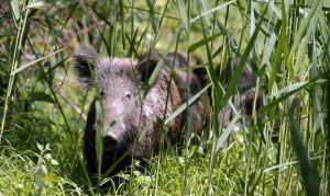 Anticipata l'apertura della caccia al cinghiale in Piemonte