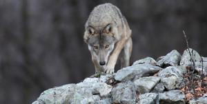 Un documentario sul lupo e le Alpi in finale al Trento Film Festival
