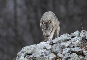 Anche Coldiretti contro i lupi: 'Si avvii subito piano di contenimento'