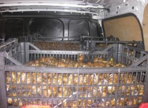 Sequestrati 640kg di lumache vive provenienti dalla Grecia
