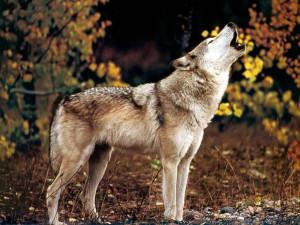 Nuovi attacchi di lupi in Alta Langa