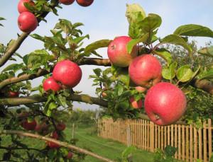 Raccolta mele abbondante e di elevata qualità, ma timori per le quotazioni