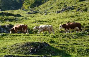 'Caluma el vache', la Confagricoltura celebra a Prazzo la discesa dagli alpeggi