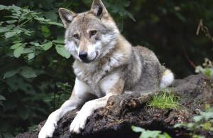 Sulle montagne cuneesi vivono 19 branchi di lupi