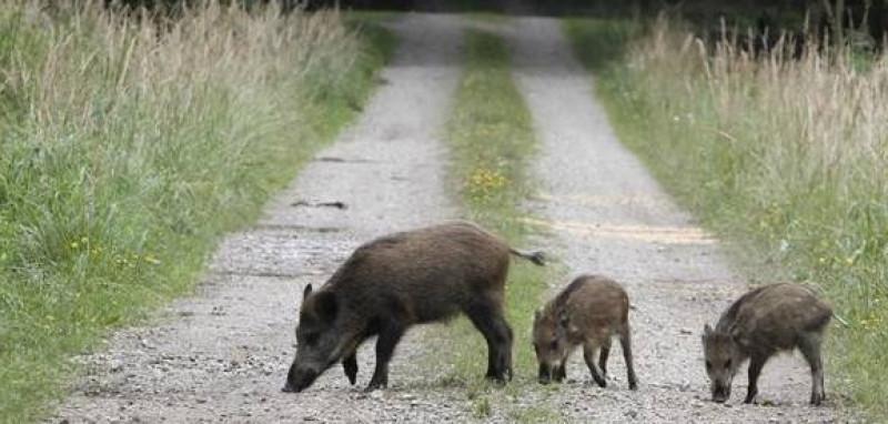 Coldiretti: 'Conteniamo i cinghiali contro la diffusione della peste suina'