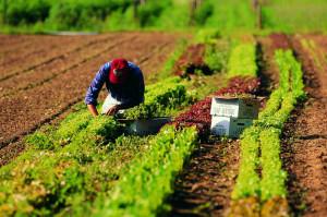 Coldiretti: 'Mai così tanti stranieri nei campi italiani'