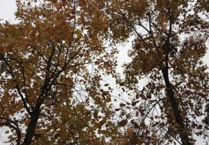 Alba: 'Festa dell'albero' 2018 con due nuovi esemplari nei parchi cittadini