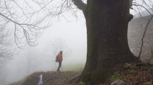 In Piemonte 44 nuovi alberi monumentali