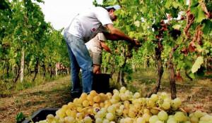 Vendemmia 2018, bilancio positivo in provincia Granda