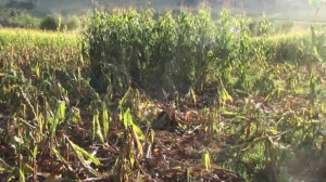 Cinghiali, Coldiretti: 'Bene il sì della Regione all'intervento diretto degli agricoltori'