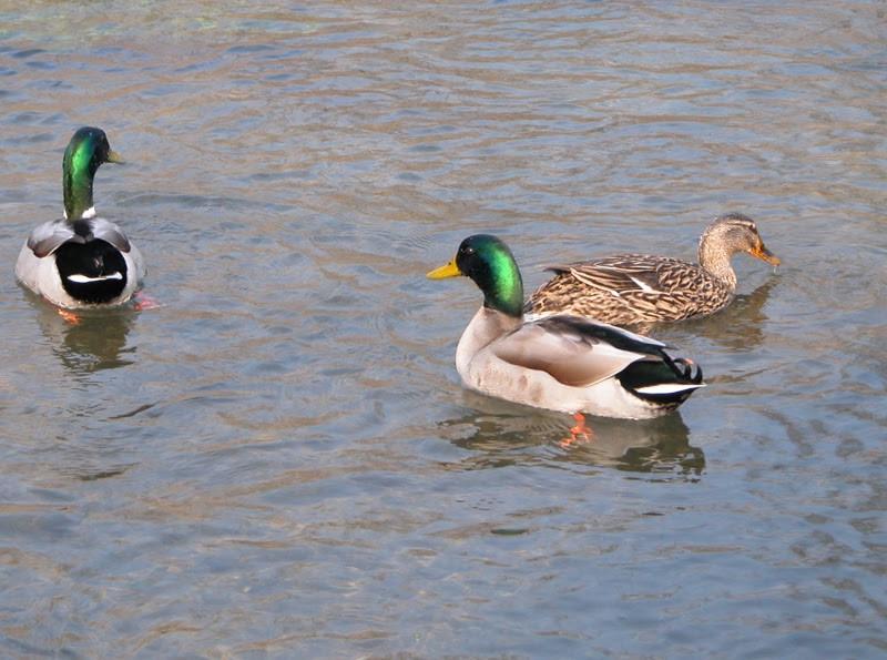 Censiti in gennaio gli uccelli acquatici del Parco del Monviso