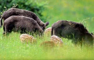 Danni da animali selvatici, tre milioni per i risarcimenti