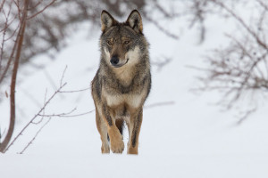 Bocconi avvelenati nel vallone dell'Arma in valle Stura, morto un lupo