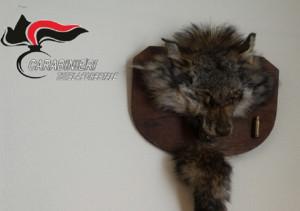 In casa espone animali protetti imbalsamati: denunciato un cacciatore cuneese