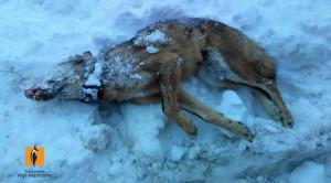 Lupo salvato dall'avvelenamento muore investito da un'auto pochi giorni dopo