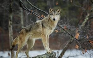 Piemonte, Valmaggia e Ferrero: 'Il Governo adotti al più presto il piano nazionale di gestione dei lupi'