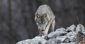 Il progetto 'Life WolfAps' fra le quindici nomination per gli 'Oscar della natura'