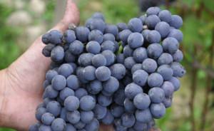 Il 2019 è l'anno del Dolcetto, il vitigno storico piemontese con 3 DOCG e 9 DOC