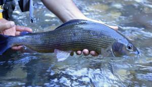 Prorogato il divieto di pesca al temolo fino al termine del 2021