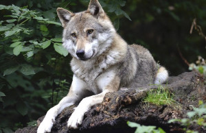 Confagricoltura: 'A Cuneo la presenza del lupo limita fortemente il lavoro degli allevatori'