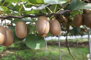 Moria del kiwi, Coldiretti: 'Bene le risorse regionali per riconvertire i frutteti'