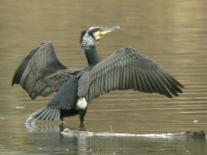 Dal 2020 un piano di tutela della trota marmorata attraverso il contenimento dei cormorani
