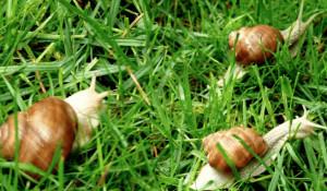 Dal Comune di Borgo San Dalmazzo un contributo per chi realizza nuovi allevamenti di chiocciole