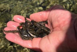 Ripopolamento ittico: 224 mila trotelle fario immesse nei torrenti della Granda