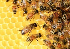 Coldiretti Piemonte: 'Fa troppo caldo per le api'