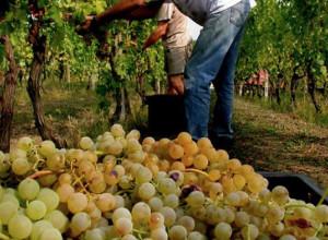 Confagricoltura sul Moscato: 'La Regione coordini lo sviluppo del comparto'