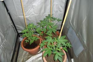 Trovate dieci piante di marijuana nella casa di una giovane coppia di Saliceto