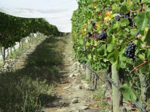 Vendemmia 2019, premesse positive per la campagna di raccolta delle uve