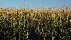 I campi di mais piemontesi assorbono 6 milioni di tonnellate di anidride carbonica all'anno