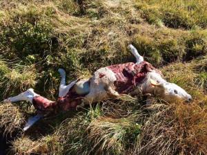 Nuovo attacco dei lupi a Pontechianale: sbranati tre bovini