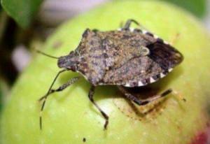 Agricoltura, Lega: 'Governo acceleri su decreti immissione vespa samurai contro cimici asiatiche'