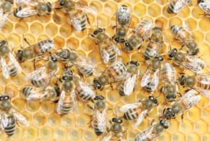 Emergenza apicoltura, contributi da parte della Regione Piemonte