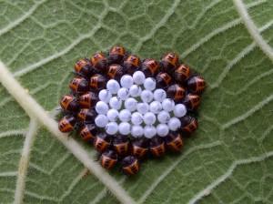 Sarà una vespa a salvarci dall'invasione della cimice asiatica?