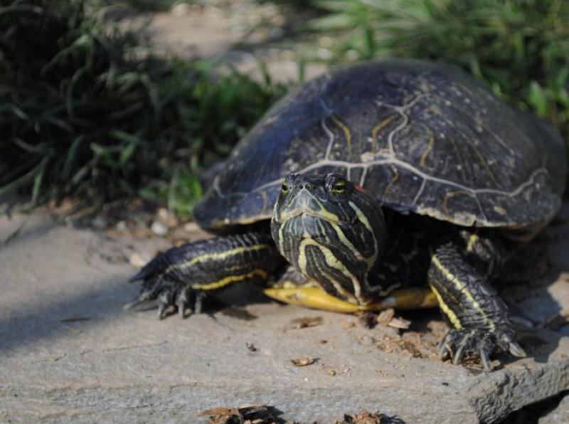 Troppo frequenti gli abbandoni di tartarughe palustri americane: apre un centro di recupero