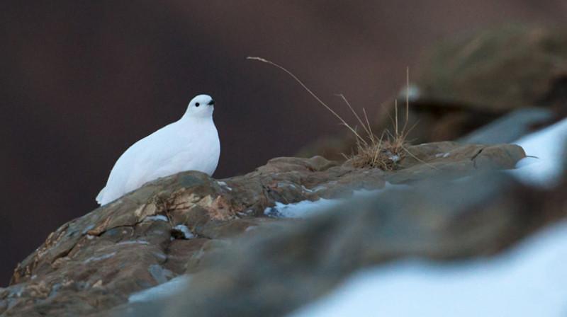 Nei parchi del Marguareis e delle Alpi Marittime un progetto di monitoraggio delle pernici bianche