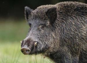 Continua il controllo sulla fauna selvatica, abbattuti altri tre cinghiali vicino alla tangenziale di Alba