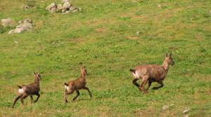 In crescita la popolazione dei camosci nei parchi del Marguareis e delle Alpi Marittime