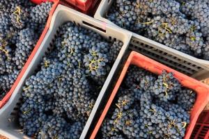 I dati della vendemmia 2019 in Piemonte