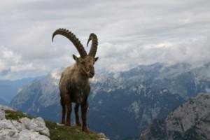 E' passato un secolo dalla reintroduzione dello stambecco sulle Alpi Marittime