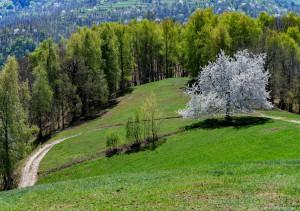 Compie novant'anni l'uomo che a cinque anni piantò un ciliegio a Valcasotto: ogni stagione lo visita accompagnato dal figlio
