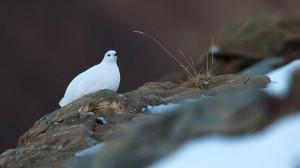 'Le specie bianche delle Alpi Marittime': a Entracque un corso sulla fauna alpina