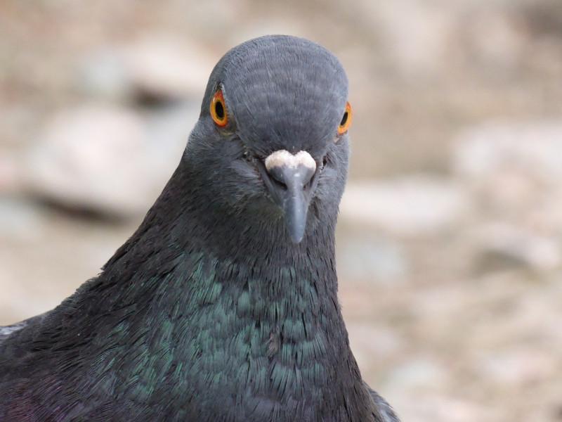 Boves, condannato il cacciatore che sparò a un piccione in piazza