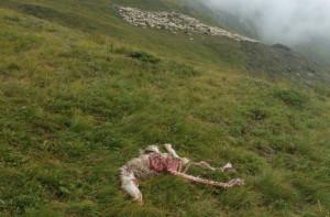 Nel 2019 nella Granda si sono verificati 45 attacchi di lupi a bovini, ovini e caprini