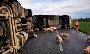Camion con rimorchio carico di maiali si ribalta sulla SP 25 a Villafalletto